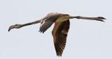 Större flamingo Phoenicopterus roseusGreater Flamingo