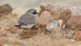Större strandpipare  Charadrius hiaticula  Common Ringed Plover (Ringed Plover)
