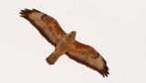 Stäppvråk  Steppe Buzzard  Buteo buteo vulpinus