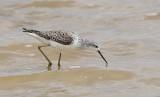 Dammsnäppa  Tringa stagnatilis  Marsh Sandpiper