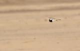 Härfågellärka Hoopoe Lark Alaemon alaudipes