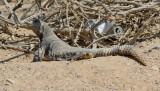 Spiny-tailed Lizard  Uromastyx aegyptia microlepis