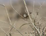Snårsångare Scrub Warbler Scotocerca inquieta