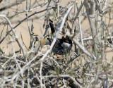 Cypernsångare Cypros Warbler Sylvia melanothorax