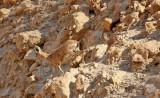 Nubisk stenbock  Nubian Ibex  Capra nubiana