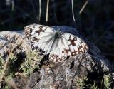 Western Marbled White  Melanargia occitanica