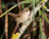 Rörsångare  European Reed Warbler (Eurasian Reed Warbler) Acrocephalus scirpaceus