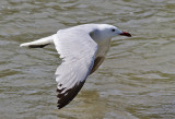 Rödnäbbad trut  Audouin's Gull  Larus audouinii