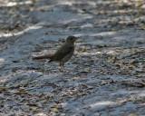 Sydnäktergal Common Nightingale Luscinia megarhynchos