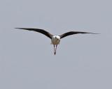 Styltlöpare  Black-winged Stilt  Himantopus himantopus
