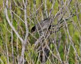 Sammetshätta  Sardinian Warbler  Sylvia melanocephala