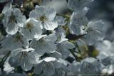 2017 - Cherry Blossoms - Wasaga Beach, Ontario - Canada