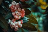 2017 - Maçã de Java (Syzygium australe), Madeira Botanic Garden - Funchal, Madeira - Portugal