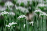 2017 - Allium, Edwards Garden - Toronto, Ontario - Canada
