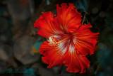 2017 - Hibiscus, Madeira Botanic Garden - Funchal, Madeira - Portugal