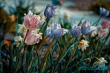 2017 - Tulips - Toronto Edwards Garden, Ontario - Canada