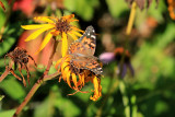 Belle dame  / (Vanessa cardui) / Painted Lady