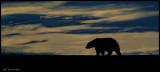 alaska_polar_bear_trip
