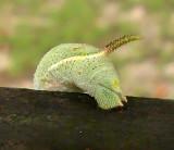 Rustic Sphinx  Caterpillar Tail (7778)