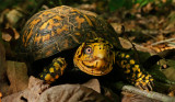 Eastern Box Turtle Frontal 4.JPG