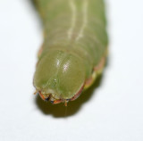 Angulose Prominent Moth Head (7920)