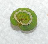 Small Mottled Willow Moth caterpillar (9665)