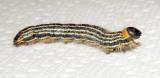 Contracted Datana Moth Caterpillar (7906)