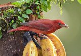 Harbinger of Spring....the Summer Tanager