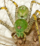 Green Lynx Spider with Egg Case