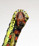 Banded Sphinx Caterpillar Instars (7865)