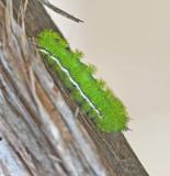 IO Moth Caterpillar