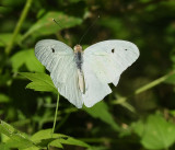 White and Sulphur Butterflies (Pieridae)