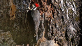 Pileated Woodpecker Foraging Tree (VIDEO)