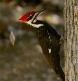 Pileated Woodpecker Foraging Tree II (VIDEO)