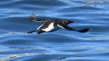 Black Guillemot in Flight