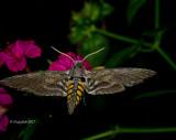 Hummingbird Moth July 17