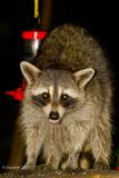 Raccoon August 15