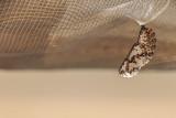 Chrysalide du Baltimore - Baltimore checkerspot chrysalis
