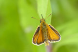 Hespérie des graminées - Essex skipper - Thymelicus lineola (4012)
