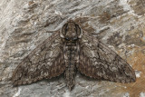 Sphinx ondulé - Waved sphinx - Ceratomia undulosa (7787)