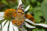 Belle dame - Painted lady - Vanessa cardui (4435)