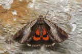 Likenée du prunier - Ultronia Underwing - Catocala ultronia (8857)