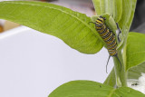 Chenille du Monarque - Monarch caterpillar