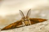 La spongieuse - Gypsy Moth - Lymantria dispar (8318)