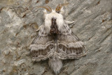 Lasiocampe à épaulettes - Large Tolype Moth - Tolype velleda (7670)