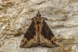 Bomolocha baltimoralis - Baltimore Hypena  - Hypena baltimoralis (8442)