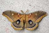 Polyphène d'Amérique - Polyphemus moth - Antheraea polyphemus (7757)