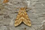 Halisidote du caryer - Hickory Tussock Moth - Lophocampa caryae (8211)