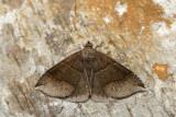 Fausse-arpenteuse de l'érable - Maple looper moth - Parallelia bistriaris (8727)