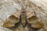 Sphinx du peuplier - Modest Sphinx - Pachysphinx modesta (7828)